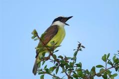 鸟唱歌 库存图片