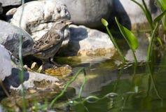 鸟喝小 免版税图库摄影
