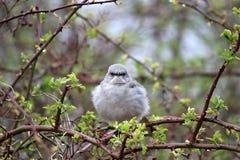鸟嘲笑 免版税库存照片