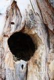 鸟在一棵云杉的树里面的巢孔 免版税库存照片