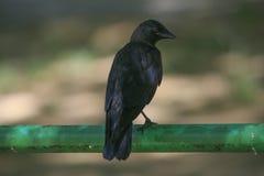 黑鸟在公园 库存照片