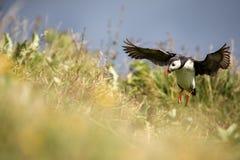 鸟在冰岛 库存照片