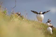 鸟在冰岛 免版税库存图片