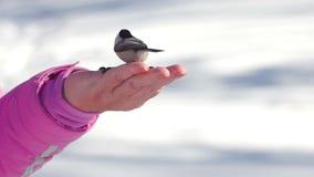 鸟在妇女` s手上吃种子 股票录像
