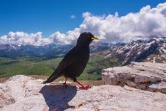 黑鸟在岩石站立 库存图片