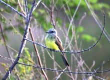 鸟在干燥分支的pitangus sulphuratus 免版税库存图片