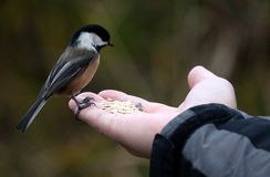 鸟在手边 库存照片