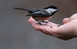 鸟在手边 图库摄影