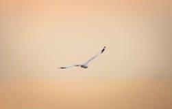 鸟在日落自由概念的天空标志的飞行海鸥 免版税图库摄影