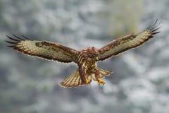 鸟在有开放翼的多雪的森林里 从自然的行动场面 鸷共同的肉食,鵟鸟鵟鸟,在与雪的飞行 多雪 免版税库存图片
