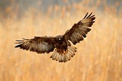 鸟在有开放翼的草甸 从自然的行动场面 鸷共同的肉食,鵟鸟鵟鸟,在与黄色的秋天期间 免版税库存图片