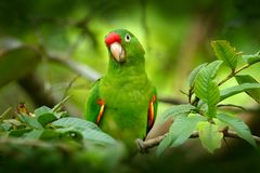 鸟在栖所 绯红色朝向的长尾小鹦鹉, Aratinga funschi,浅绿色的鹦鹉画象与红色头,哥斯达黎加的 Wildlif 免版税库存照片