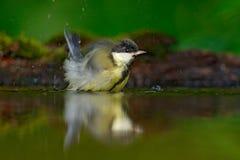 鸟在水了不起的山雀,帕鲁斯少校,黑和黄色的洗涤全身羽毛歌手坐在水中的,好的地衣树枝,鸟我 免版税库存图片