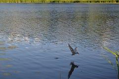 鸟在河抓鱼 免版税库存照片