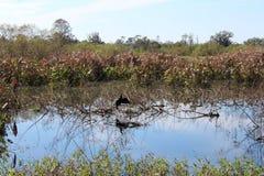 鸟在沼泽 免版税库存照片
