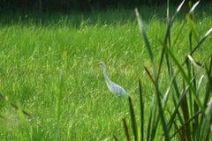 鸟在沼泽 库存照片