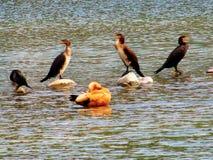 鸟在湖 免版税库存照片