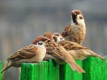 鸟在狂放的一只麻雀 库存照片