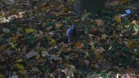 鸟在秋天公园,在下落的秋天黄色附近的鸽子离开 股票视频