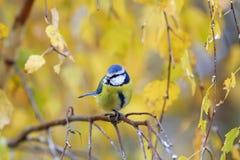 鸟在秋天坐在黄色叶子中的公园 免版税库存图片