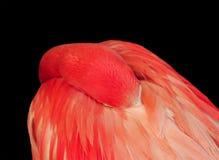 鸟在羽毛投入他的额嘴在黑色的明亮的桃红色火鸟是 库存照片