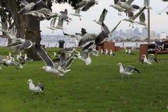 鸟在飞行中在风雨棚海岛在圣地亚哥,加利福尼亚 免版税库存图片