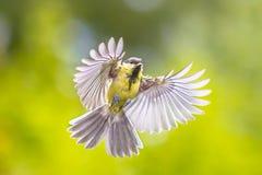 鸟在飞行中在鲜绿色的背景 免版税图库摄影