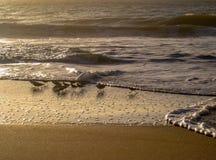 鸟在黎明浪潮, Cavaleiros海滩,巴西哺养 图库摄影