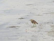 鸟在Morjim海滩站立在果阿北部 ?? 库存照片