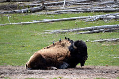 鸟坐一个北美野牛,黄石公园 库存图片