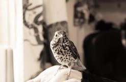 鸟坐一只人的手 免版税库存照片