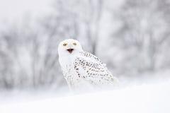 鸟多雪的猫头鹰坐雪,与雪花的冬天场面在风 免版税库存图片