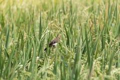 鸟女用披肩米 免版税图库摄影
