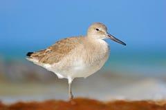 滨鸟威利特,海水鸟在自然栖所 在海洋海岸白色鸟的动物在沙子海滩 美丽的鸟f 库存照片