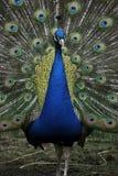 鸟孔雀 免版税库存图片