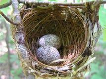 鸟嵌套用有斑点的鸡蛋 库存照片