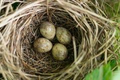 鸟嵌套用鸡蛋 免版税库存照片