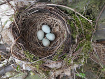 黑鸟巢用鸡蛋 库存照片