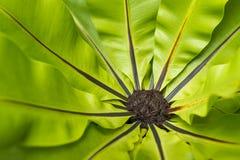 鸟巢蕨 库存照片