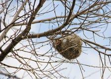 鸟巢高在树在春天 免版税库存图片