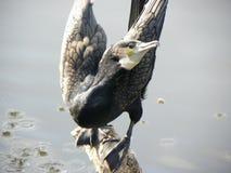 鸟开放翼 免版税图库摄影
