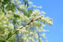 鸟开花的樱桃树 免版税库存照片