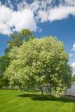 鸟开花的樱桃树 库存照片