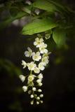 鸟开花的樱桃 库存照片
