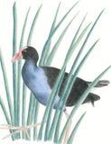 鸟当地新的pukeko西兰 免版税库存图片