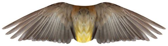 鸟或天使被隔绝的羽毛翼 库存照片