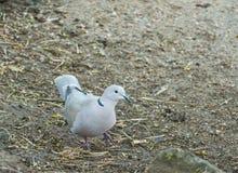 鸟抓住衣领口的鸠或斑鸠decaocto 免版税图库摄影