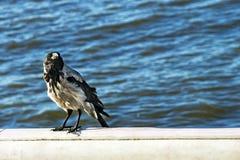鸟掠夺坐具体篱芭反对海 图库摄影