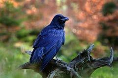 黑鸟掠夺坐在秋天木头的树干在森林自然栖所,动物,黑暗的全身羽毛和大票据,芬兰 免版税库存图片