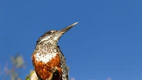 鸟接近的动物南非 库存照片